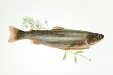 Saibling Frischfisch im Ganzen